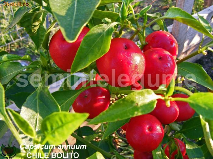 Seminte ardei iute - CHILE BOLITO - 30+ seminte/pachet foto mare