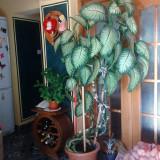Plante ornamentale - Planta de apartament Dieffenbachia (Trestia de zahar salbatica) - 2m si 10cm
