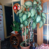 Planta de apartament Dieffenbachia (Trestia de zahar salbatica) - 2m si 10cm