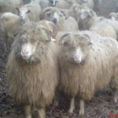 Vand 100 de oii si 30 de miei foarte frumosi - Oi/capre