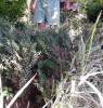 Plante ornamentale - Buxus