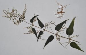 Plante pentru ierbar foto