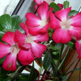 Trandafiri - Vand TRANDAFIRUL DESERTULUI