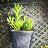 BUTASI LAVANDA (Lavandula angustifolia, officinalis, vera)ACLIMATIZATA. Plante aclimatizate 2013 Vind butasi s ideali pentru culturi - Trandafir