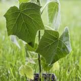 Paulownia puieti hibrizi (30-50 cm)