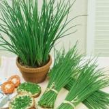 Plante ornamentale - ARPAGIC - Allium schoenoprasum – 3 lei