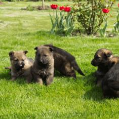 Caine, Ciobanesc German, Femela - Vand pui ciobanesc german cu pedigree.