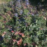 Seminte de Mahonia aquifolium (20 seminte)