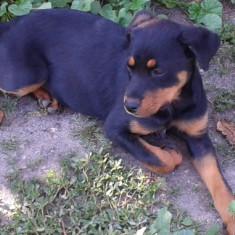 Rottweiller femela - Caine, Rottweiler