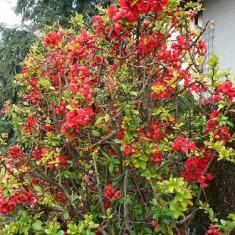 Pomi Gutui - Gutui Japonej Seminte