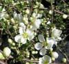 Plante ornamentale - Gutui japonez alb C2