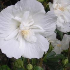 Hibiscus syr. 'White Chiffon' – trandafir chinezesc, zamosita - Trandafiri
