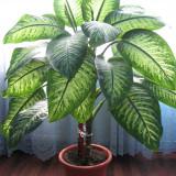 Plante ornamentale - Vand Dieffenbachia
