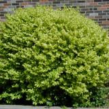Ligustrum ovalifolium Vicaryi – lemn cainesc galben  - 6 lei