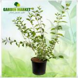"Plante ornamentale - Iasomia - Philadelphus ""Innocence"""