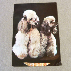 Carte Postala, Circulata, Fotografie - Animale - caine - caniche - necirculata anii 1980 - 2+1 gratis - RBK10215