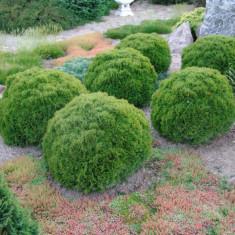 Thuja occidentalis Danica - Tuia sferica