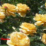 Butasi trandafiri si pomi fructiferi ( piersici), Multicolori