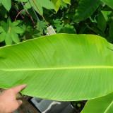 Flori - Canna cu frunze uriase de banana » Canna tuerckheimii - 3 seminte pentru semanat