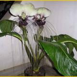 Plante ornamentale - Seminte rare . Tacca nivea - 3 seminte pentru semanat