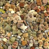 Seminte de Piatra Vie - Lithops - amestec soiuri - 10 seminte pt semanat