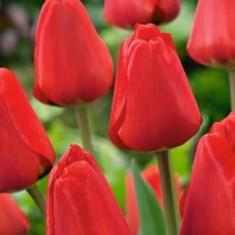 Bulbi de LALELE (tulipa) soiul APELDOORN 10/11