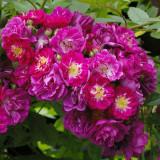 Trandafir Perennial Blue