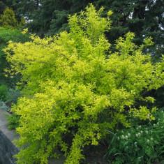 Plante ornamentale - Forsythia intermedia Golden Times – forsithia