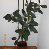 Ficus - planta de apartament