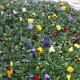 Flori - Panselute de vanzare (pitice si curgatoare)