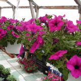 Sera de flori Tuzla Constanta - Petunii curgatoare