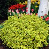 Plante ornamentale - Euonymus Emerald 'n' Gold – salba galbena