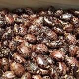 Vand 50 seminte ricin pret 20 lei