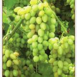 Moldova, Fructe - Struguri - Carte postala tematica, Necirculata, Printata