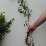Gard viu (Ulmus pumila)